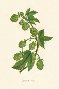 'Common Hop', c1891, (1891) by Anne Pratt