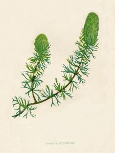 'Common Hornwort', c1891, (1891) by Anne Pratt