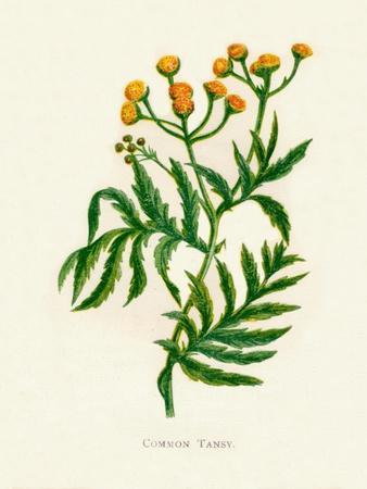 'Common Tansy', c1891, (1891)