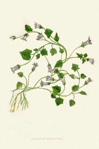 'Ivy-Leaved Bellflower', c1891, (1891) by Anne Pratt