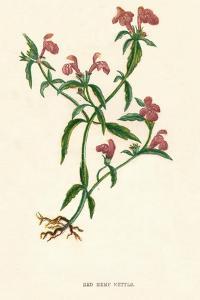 'Red Hemp Nettle', c1891, (1891) by Anne Pratt