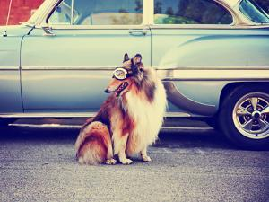 A Collie Posing for the Camera in Front of a Classic Car during a Hot Summer Day with Goggles on Of by Annette Shaff