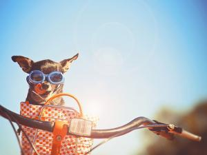 A Cute Chihuahua Riding in a Basket on a Bicycle and Wearing Goggles Toned with a Retro Vintage Ins by Annette Shaff