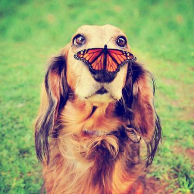 A Cute Dachshund at a Local Public Park with a Butterfly on His or Her Nose Toned with a Retro Vint by Annette Shaff