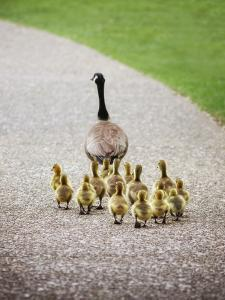 (Shallow DOF on Babies) a Cute Family of Geese Walking on a Pebble Stone Path in a Local Wildlife P by Annette Shaff
