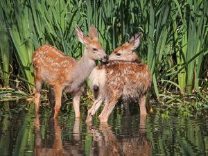 Twin Fawns Nuzzling Each Other in a Pond Surrounded by Reeds at a Local Wildlife Sanctuary Park by Annette Shaff
