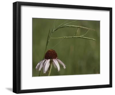 A Walking Stick Insect Balances on a Blade of Grass over a Coneflower