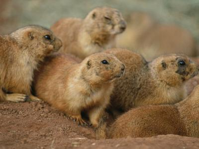A Group of Prairie Dogs Cluster Around the Entrance to Their Den by Annie Griffiths Belt