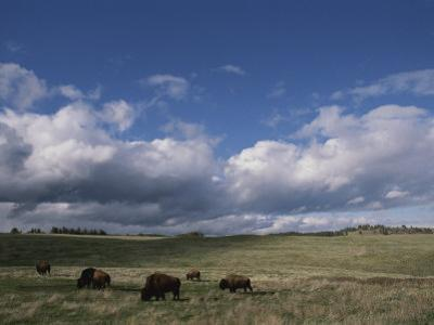 Bison Grazing on the Open Prairie in Custer State Park by Annie Griffiths Belt