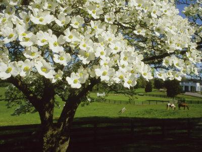Blossoming Dogwood Tree and Grazing Horses, Virginia