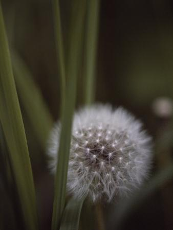 Close View of a Dandelion That Has Gone to Seed