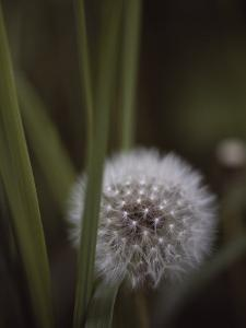 Close View of a Dandelion That Has Gone to Seed by Annie Griffiths Belt