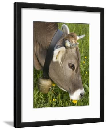 Cow with a Bell Eating Dandelions in a Lush Field