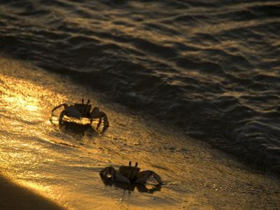 Crabs Along the Indian Ocean Shoreline at Sunset