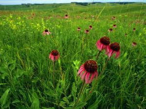 Field of Purple Coneflowers by Annie Griffiths Belt