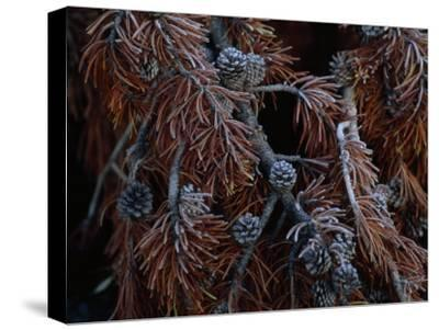 Frost Covers the Branches of a Pine Tree