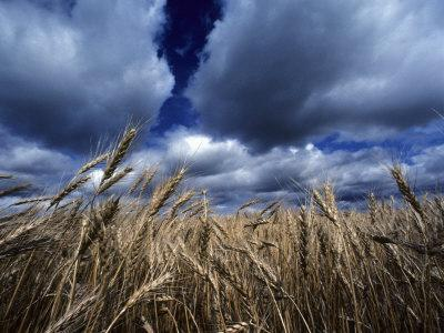 Golden Heads of Wheat in a Field under a Vast, Turbulent Sky