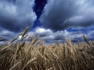Golden Heads of Wheat in a Field under a Vast, Turbulent Sky by Annie Griffiths Belt
