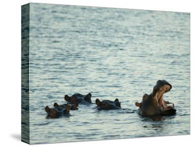 Hippos Float in the Zambezi River in Zambia