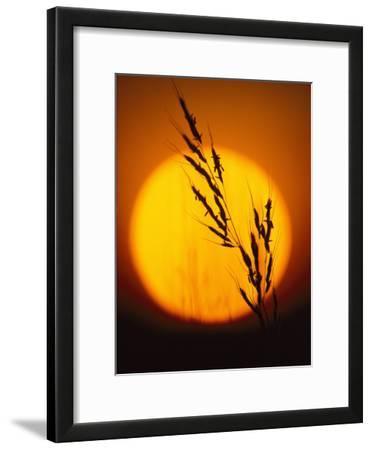 Indian Grass against a Sunset Sky at Audubon Prairie in Minnesota