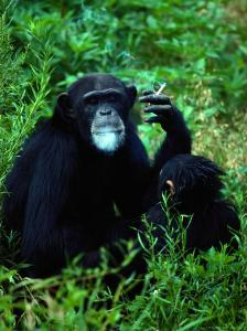 Infant Chimpanzee Watches its Mother Smoke a Cigarette by Annie Griffiths Belt