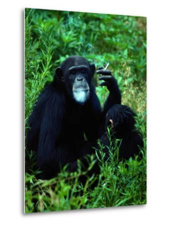 Infant Chimpanzee Watches its Mother Smoke a Cigarette