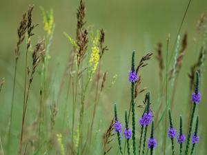 Prairie Grasses and Prairie Flowers by Annie Griffiths Belt
