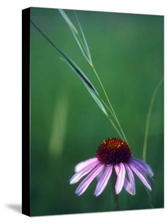 Purple Coneflower and a Stalk of Grass
