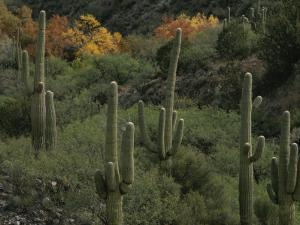 Saguaro Cacti in the San Pedro Valley by Annie Griffiths Belt