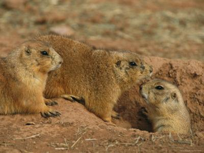Close View of Three Prairie Dogs at the Entrance to Their Den by Annie Griffiths