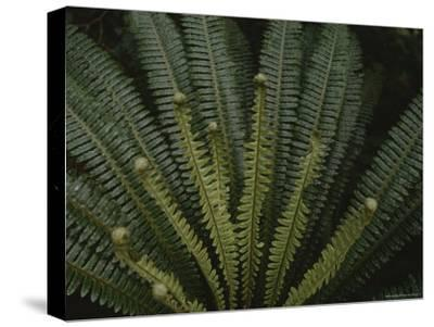 Large Ferns are Plentiful in Fiordland National Parks Forests