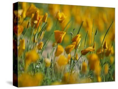Mexican Poppies