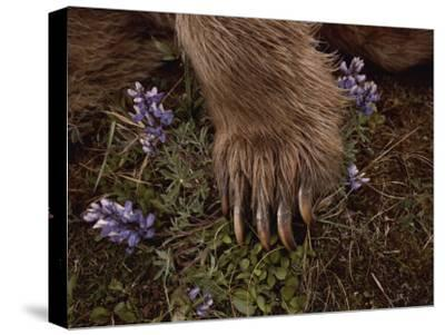 The Paw of a Tranquilized Grizzly Bear and Purple Wildflowers