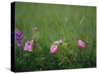 Wild Prairie Roses Bloom Among Grasses