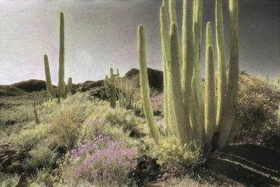 Wildflowers Blooom Among Cactus in a Desert Landscape