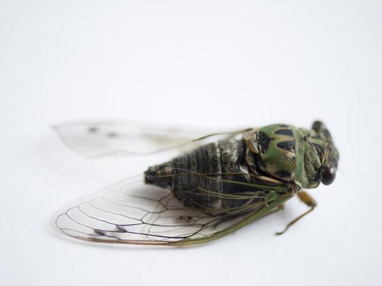 Annual Cicada or Dog-Day Cicada, Tibicen Canicularis-Joel Sartore-Photographic Print