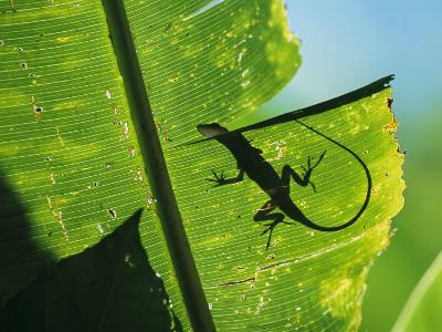 Anole Lizard Silhouetted Behind a Large Leaf-George Grall-Photographic Print