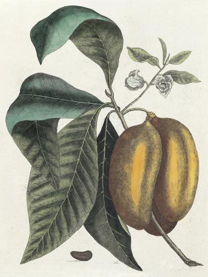 Anona Fructu Lutescente Laevi, Scrotum Arietis Referente-Mark Catesby-Giclee Print