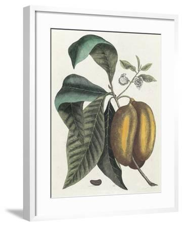 Anona Fructu Lutescente Laevi, Scrotum Arietis Referente-Mark Catesby-Framed Giclee Print