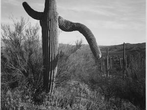 "Cactus At Left And Surroundings ""Saguaro National Monument"" Arizona. 1933-1942 by Ansel Adams"