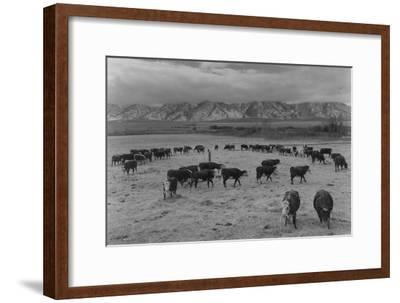 Cattle in South Farm