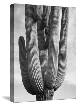 Detail of cactus Saguaros, Saguro National Monument, Arizona, ca. 1941-1942