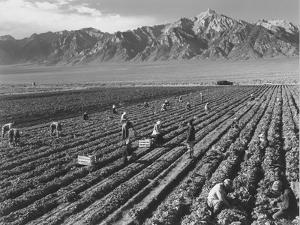 Farm workers harvesting  near Mount Williamson, Manzanar Relocation Center, California, 1943 by Ansel Adams