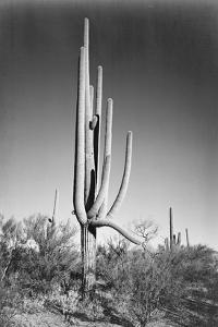 Full view of cactus and surrounding shrubs, In Saguaro National Monument, Arizona, ca. 1941-1942 by Ansel Adams