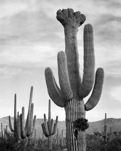 Full view of cactus with others surrounding, Saguaros, Saguaro National Monument, Arizona, ca. 1941 by Ansel Adams