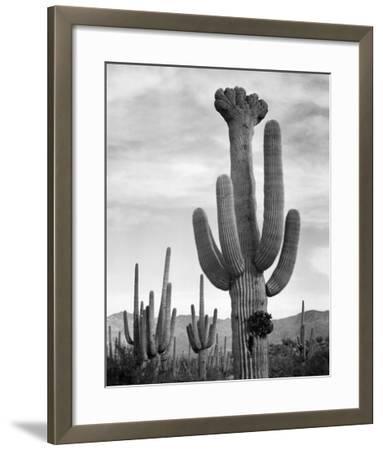 Full view of cactus with others surrounding, Saguaros, Saguaro National Monument, Arizona, ca. 1941