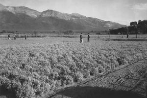 Guayule Field by Ansel Adams