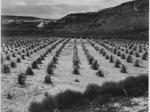 """Looking Across Corn, Cliff In Bkgd """"Corn Field Indian Farm Near Tuba City Arizona In Rain 1941"""" by Ansel Adams"""