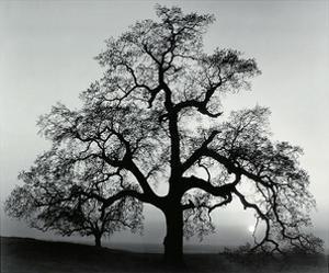 Oak Tree, Sunset City, California, 1932 by Ansel Adams