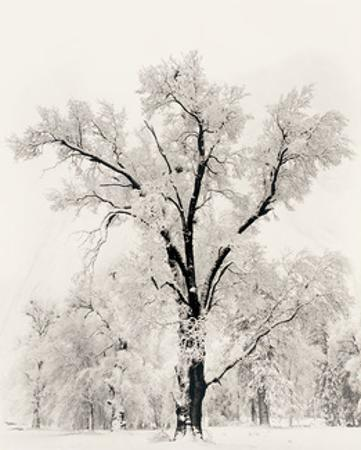 Oak Tree by Ansel Adams